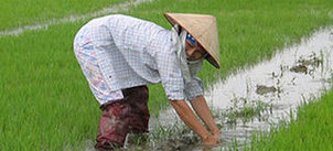 Man working in rice fields