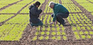 Two scientists control the plants in the field
